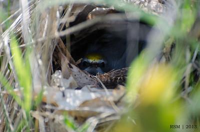 Nesting Golden-winged Warbler