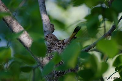 Nesting American Redstart