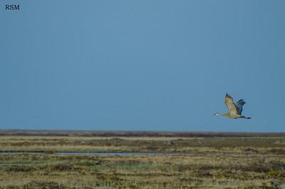 Sandhill Crane - Wapusk National Park, Manitoba - June 2012